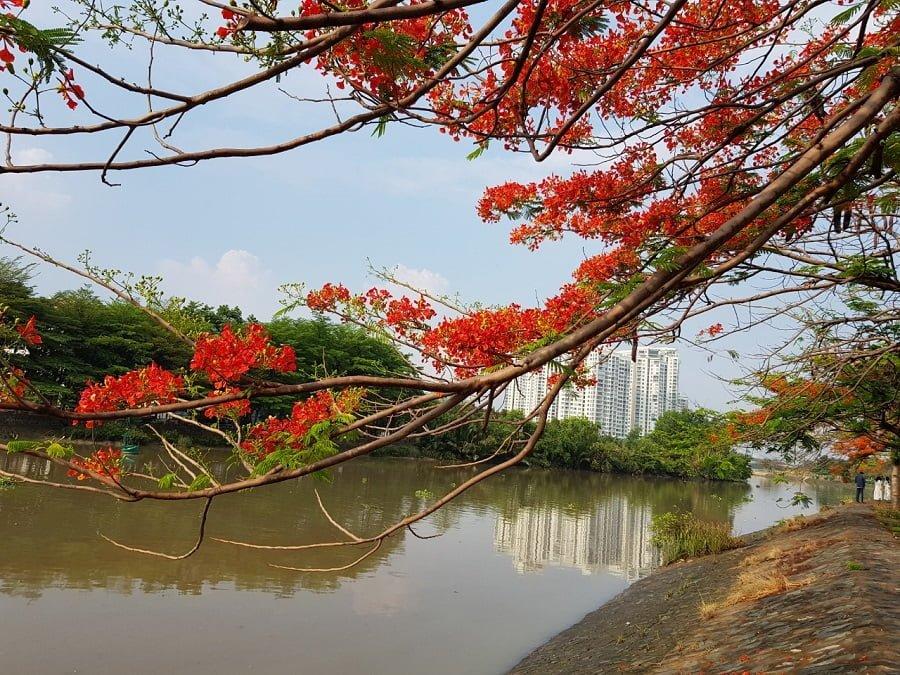 Hoa phượng bên sông cách The Sun Avenue khoảng 100m